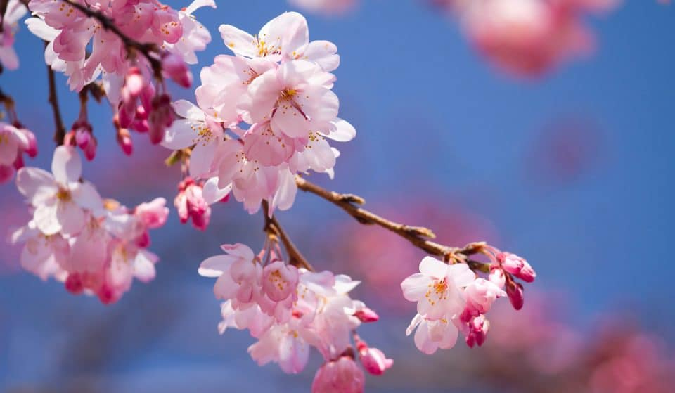5 Best Spots In Georgia To Catch Cherry Blossoms In Full Bloom