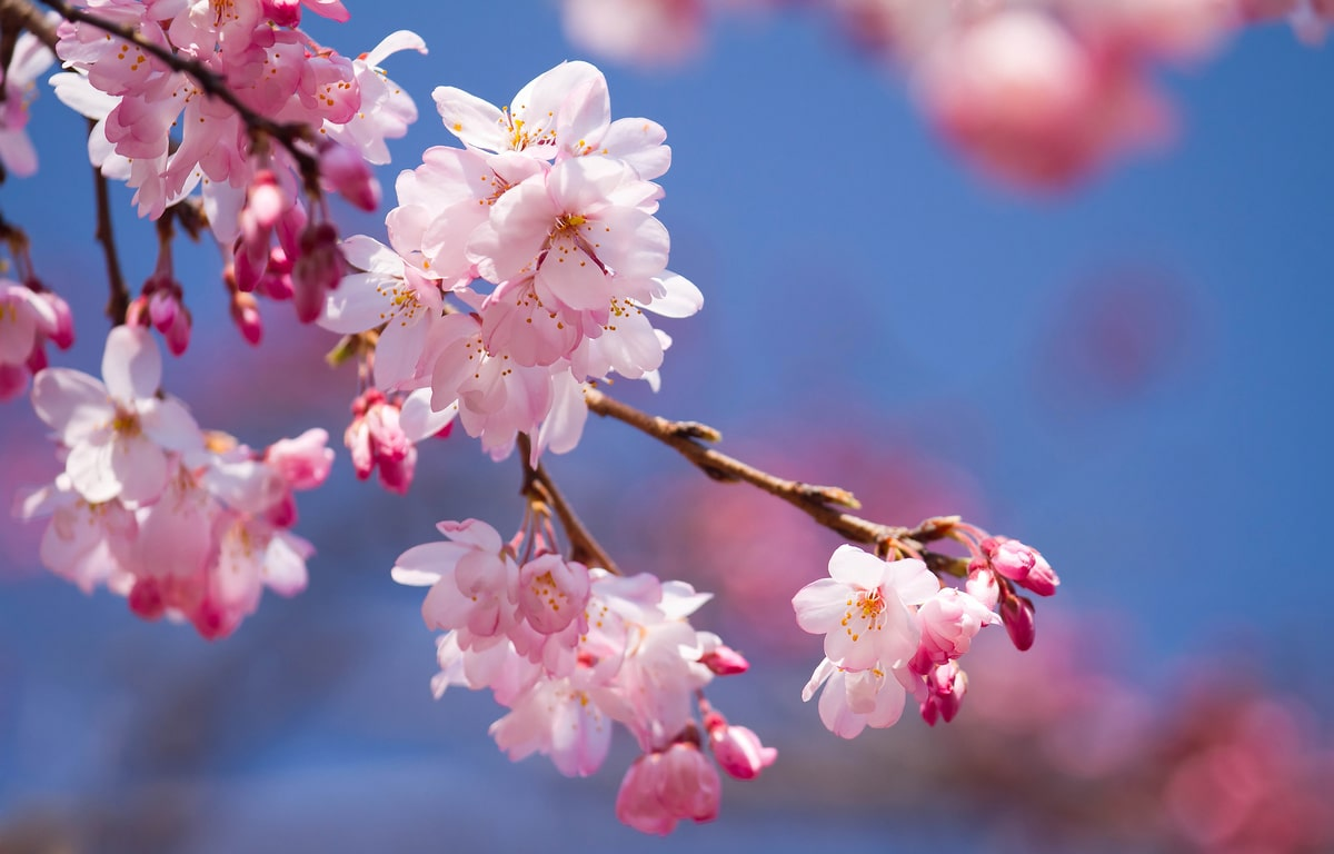 5 Best Spots In Georgia To Catch Cherry Blossoms In Full Bloom Secret Atlanta