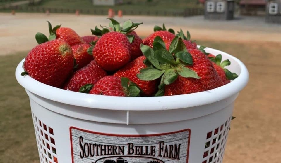 6 Incredible Places To Go Strawberry Picking In And Around Atlanta