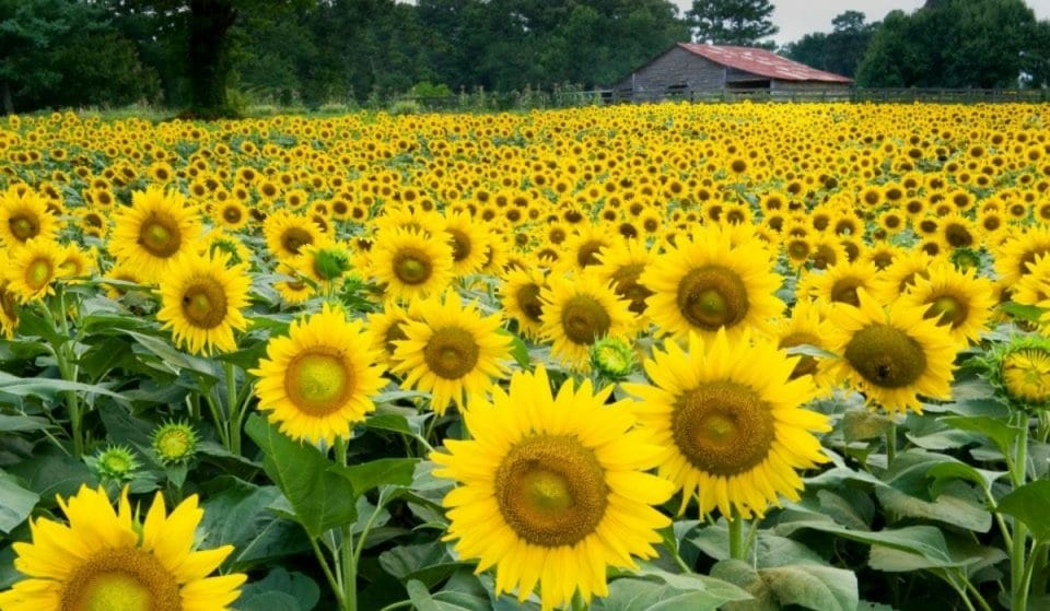 Sunflower Season Is Just Around The Corner, And This ATL Field Is Blooming Marvelous