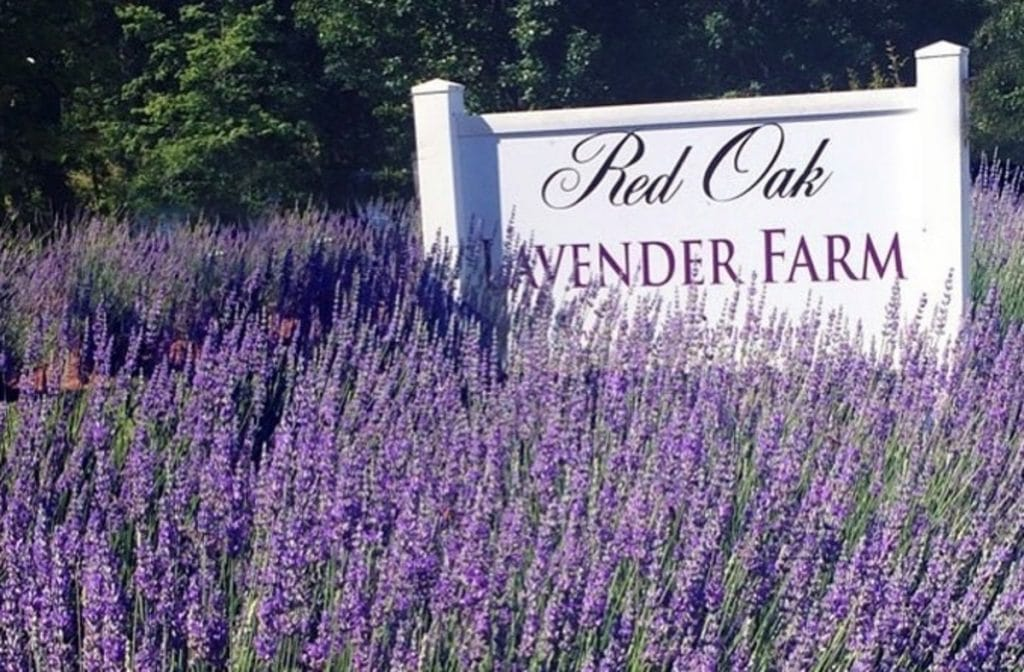 Explore These Gorgeous Fields Of Lavender At Red Oak Farm This Summer